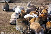 """Oui ben si Okikunoshima est plus comunément appellée """"l'ile des lapins"""" c'est qu'il y a bien une raison..."""